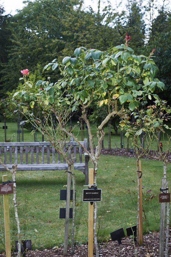 Standard rose in the Garden + plaque